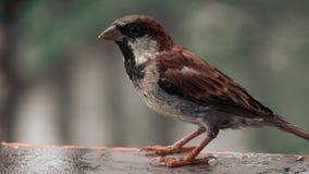 Czarny necked wróbel zdjęcie stock