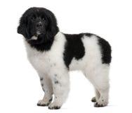 czarny Newfoundland szczeniaka pozyci biel Obraz Royalty Free