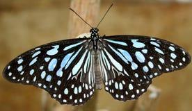 czarny niebieski motyl Zdjęcie Royalty Free