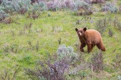 Czarny Niedźwiadkowego lisiątka bieg przez bylicy Zdjęcia Stock