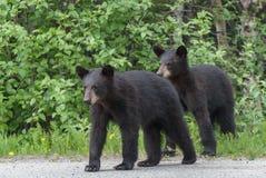 Czarny Niedźwiadkowy lisiątko Obraz Royalty Free