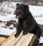 Czarny niedźwiadkowy lisiątko Zdjęcia Stock