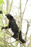 Czarny niedźwiadkowy lisiątko w drzewie Fotografia Royalty Free