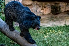 Czarny niedźwiedź Obraz Stock