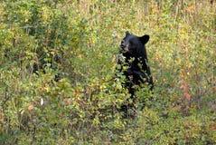 Czarny Niedźwiedź Obrazy Stock