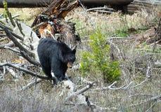 Czarny niedźwiedź Obrazy Royalty Free