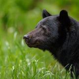 Czarny niedźwiedź Zdjęcie Royalty Free