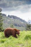 Czarny niedźwiedź Zdjęcia Stock