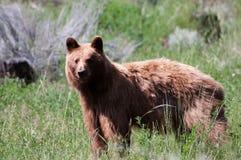 Czarny niedźwiedź Fotografia Royalty Free