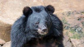 Czarny niedźwiedź Obraz Royalty Free