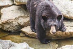 czarny niedźwiedź amerykańskim Fotografia Royalty Free