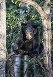 czarny niedźwiedź amerykańskim Zdjęcia Royalty Free
