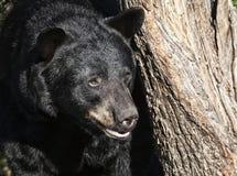 czarny niedźwiedź amerykańskim Zdjęcie Stock
