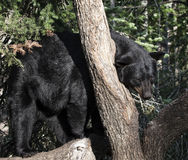 czarny niedźwiedź amerykańskim Obraz Stock