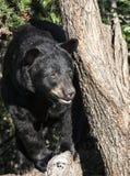 czarny niedźwiedź amerykańskim Obraz Royalty Free