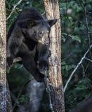 czarny niedźwiedź amerykańskim Obrazy Royalty Free