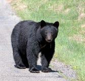 czarny niedźwiedź amerykańskim Fotografia Stock