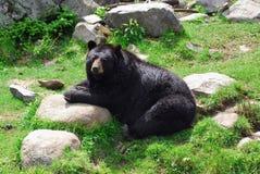 czarny niedźwiedź amerykańskim Zdjęcie Royalty Free