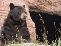 czarny niedźwiedź amerykańskim Zdjęcia Stock