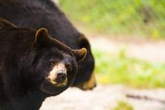 czarny niedźwiedź brew dwa fotografia royalty free