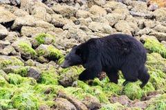 Czarny niedźwiedź chodzi na skałach Fotografia Royalty Free