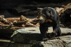 Czarny niedźwiedź chodzi na skale obraz stock