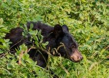Czarny niedźwiedź chodzi przez gęstych krzaków Obrazy Royalty Free