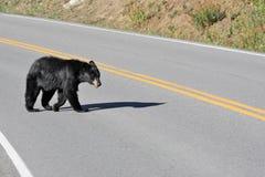 Czarny niedźwiedź krzyżuje drogę przy Yellowstone parkiem narodowym Zdjęcia Stock