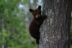 czarny niedźwiedź młode drzewo Fotografia Royalty Free