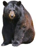 Czarny niedźwiedź na Białym Bagkground Zdjęcia Royalty Free