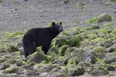 Czarny niedźwiedź na ocean plaży Obraz Stock