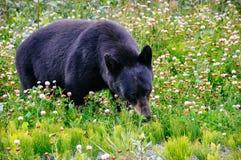 Czarny niedźwiedź pasa w trawie blisko Dease jeziora, kolumbiowie brytyjska obrazy royalty free