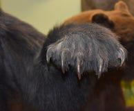 Czarny niedźwiedź pokazuje jego pazura upclose obrazy stock