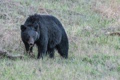 Czarny niedźwiedź rambeling przez trawy zdjęcie stock