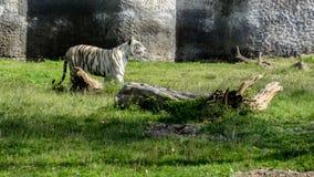 Czarny niedźwiedź relaksuje w Chatver zoo Chandigarh Pundżab zdjęcie stock
