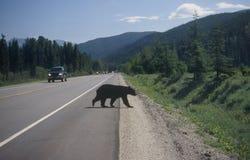 czarny niedźwiedź skrzyżowanie dróg Obrazy Royalty Free