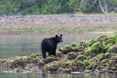Czarny niedźwiedź stoi na skałach Fotografia Royalty Free