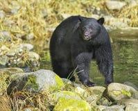 czarny niedźwiedź ursus americanus Zdjęcie Royalty Free