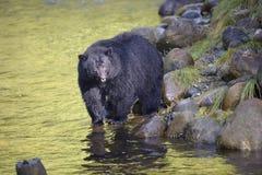 czarny niedźwiedź ursus americanus Zdjęcie Stock