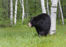 Czarny niedźwiedź w brzoz drzewach Fotografia Stock