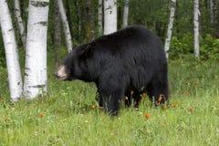 Czarny niedźwiedź w brzozach i Wildflowers Obraz Stock
