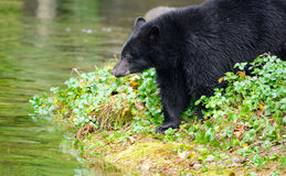 Czarny niedźwiedź w rzece, Vancouver wyspa, Kanada obraz royalty free