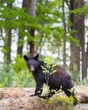 Czarny niedźwiedź w Smokies Zdjęcia Stock