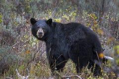 Czarny niedźwiedź w Tetons zdjęcie royalty free