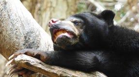 Czarny niedźwiedź zoo california USA Zdjęcia Royalty Free