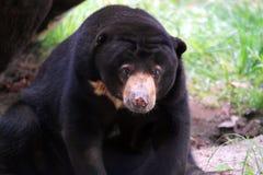 Czarny niedźwiedź Zdjęcie Stock