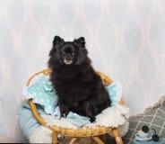 Czarny Niemiecki Spitz psa obsiadanie na krześle w studiu, portret Obraz Stock