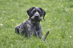 Czarny Niemiecki Wirehaired pointer Drahthaar obrazy stock