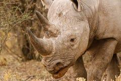 Czarny nosorożec Ładować fotografia royalty free