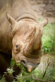czarny nosorożec Zdjęcie Stock